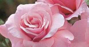 صور ورد روعه , معني الورد الجميل