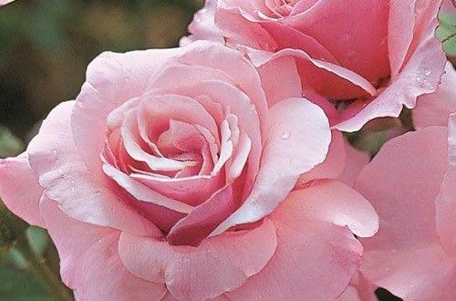 صورة صور ورد روعه , معني الورد الجميل