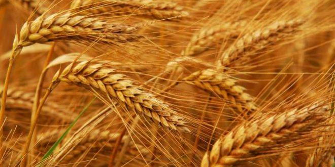 صور صورة سنابل القمح , اجمل الصور للقمح