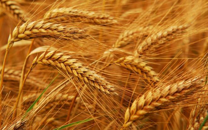 صورة سنابل القمح , اجمل الصور للقمح - حنين الذكريات