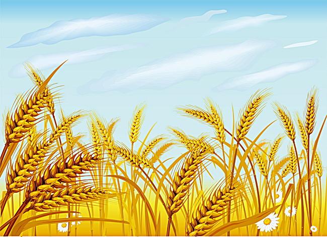 صورة سنابل القمح اجمل الصور للقمح حنين الذكريات