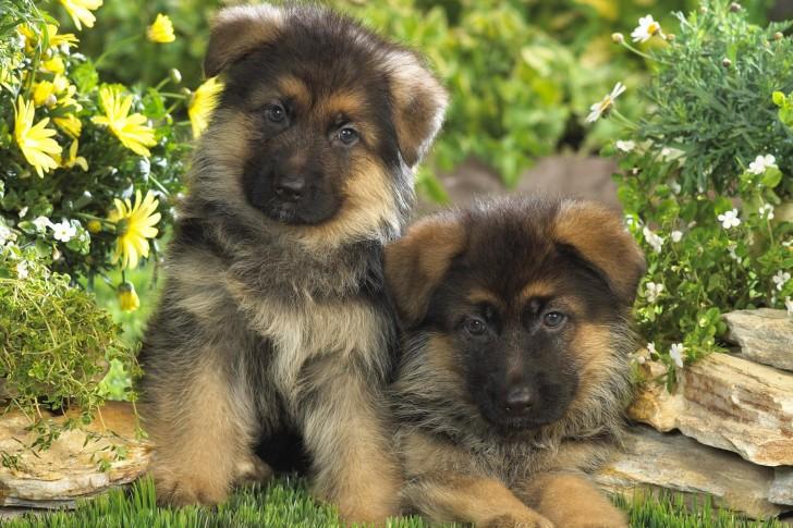 صورة صور كلاب صغيرة , احلي صور لانواع الكلاب