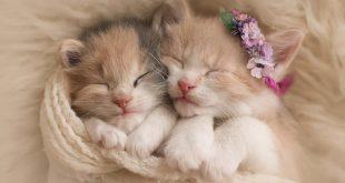كم شهر تحمل القطة , معلومات غريبه عن القطط لن تعرفها من قبل