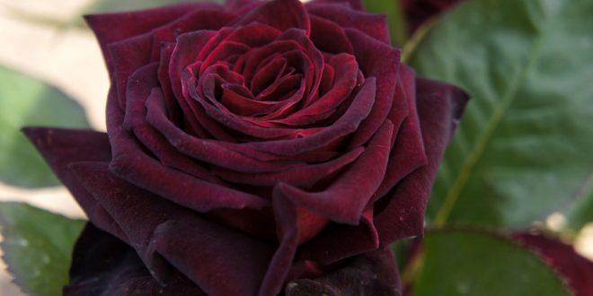 صورة اروع وردة في العالم , الورد لغه المحبه