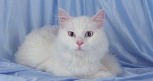 صورة تفسير القطه البيضاء في الحلم , الحلم الغريب وتفسير القطه بالوانها