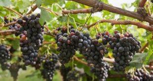صورة طريقة زراعة العنب , الفواكه و طرق زراعتها