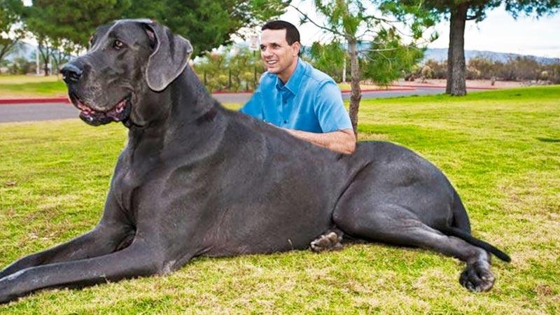 صورة اكبركلب في العالم , اوفى الحيوانات للانسان