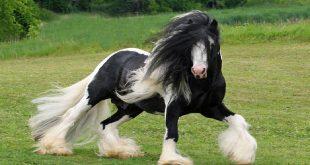 صورة افضل حصان في العالم , هذا النوع من الاحصانه سبب الدهشه للجميع