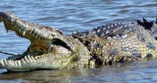 صورة معلومات عن التمساح للاطفال , معلوماتةجديدة عن التماسيح