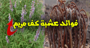 صورة فوائد كف مريم , فوائد غير متوقع عن عشب كف مريم