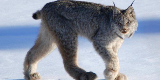 صورة هو حيوان بري اصغر من النمر ويسمى بسنور الجبل , تعرف علي حلول بعض الالغاز
