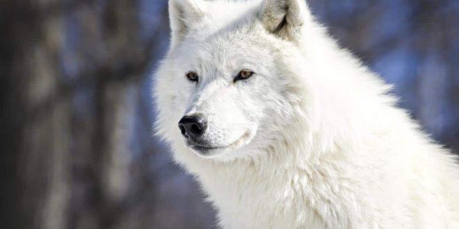 صورة تفسير حلم الذئب الابيض , ماذا يعني رايت الذئب في المنام؟