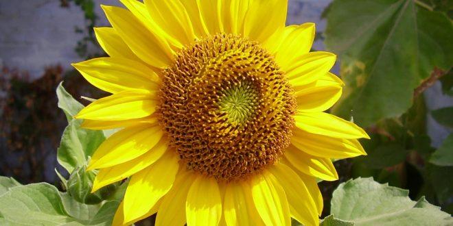 صورة ورد عباد الشمس , فائده ورد عباد الشمس