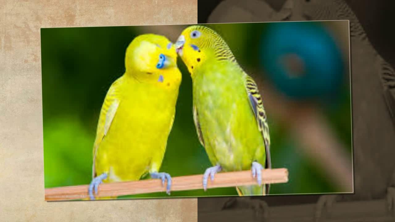 صورة طيور حب هولندي , تعرف على معلومات كثيره عن طيور الحب