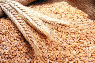 صورة ما هي الحنطة , خرجت من الروايات القديمة لخبز الغذاء اليومي