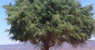 صورة شكل شجرة السدر , تعرف على احد اشجار الجنه وفوائدها