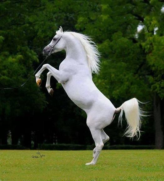 صورة صور حصان اصيل , عشق الخيل لا يعرفه الا الفارس 7009 1