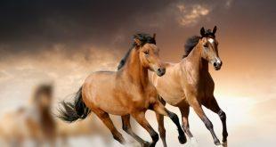 صورة صور حصان اصيل , عشق الخيل لا يعرفه الا الفارس