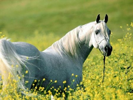 صورة صور حصان اصيل , عشق الخيل لا يعرفه الا الفارس 7009 2