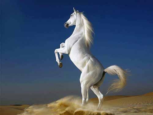 صورة صور حصان اصيل , عشق الخيل لا يعرفه الا الفارس 7009 3