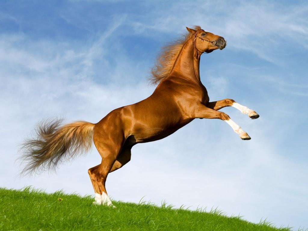 صورة صور حصان اصيل , عشق الخيل لا يعرفه الا الفارس 7009 5
