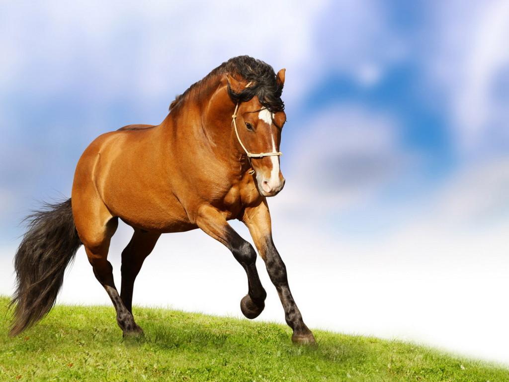 صورة صور حصان اصيل , عشق الخيل لا يعرفه الا الفارس 7009 7