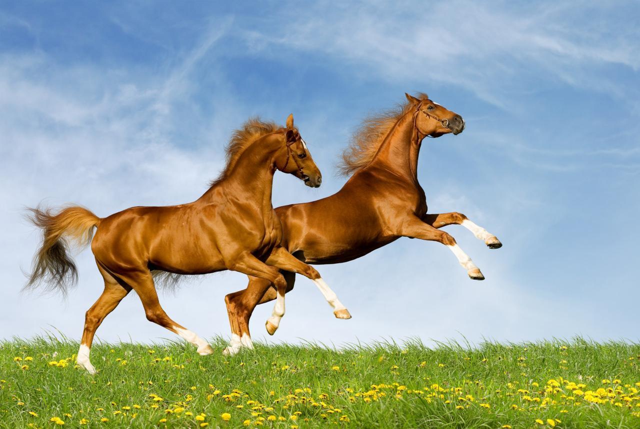 صورة صور حصان اصيل , عشق الخيل لا يعرفه الا الفارس 7009 8