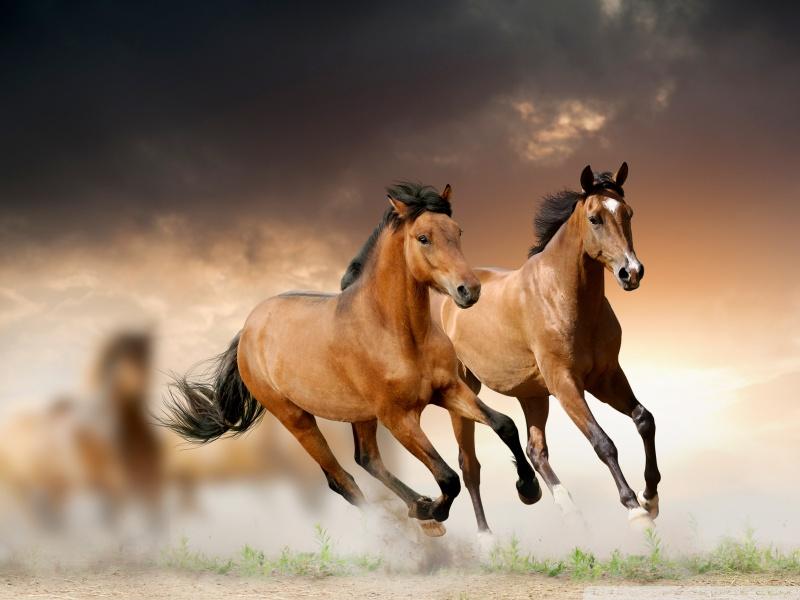 صورة صور حصان اصيل , عشق الخيل لا يعرفه الا الفارس 7009